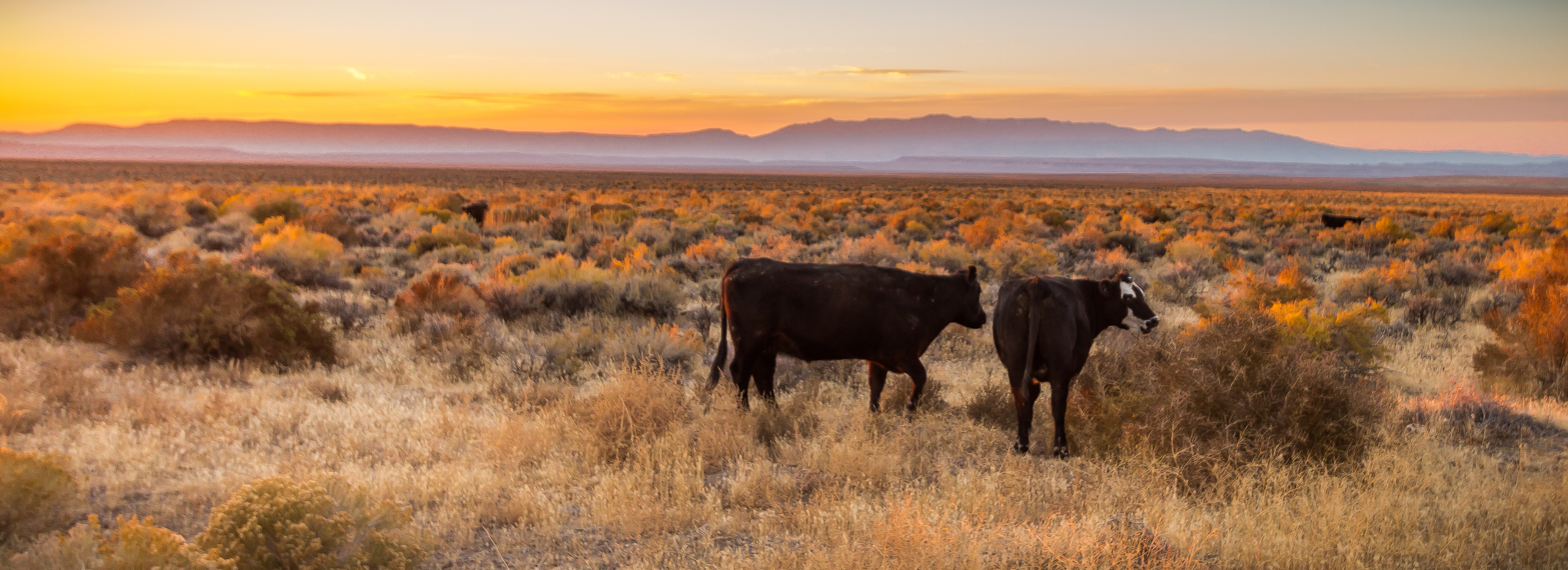 Cattle graze open public rangeland in Malheur County, Oregon, east of Steens Mountain. Credit, Greg Shine/BLM.