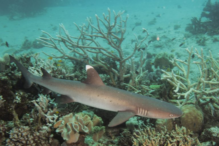 A shark hunts along the sea bed with coral and rocks.