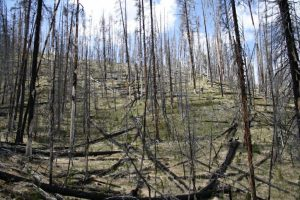 IMG 0009 1024x683 300x200 - With fire, warming and drought, Yellowstone forests could be grassland by mid-century