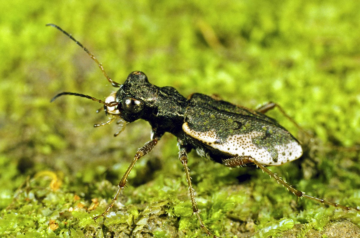 Tiger beetle New Zealand - New buzz around insect DNA analysis and biodiversity estimates