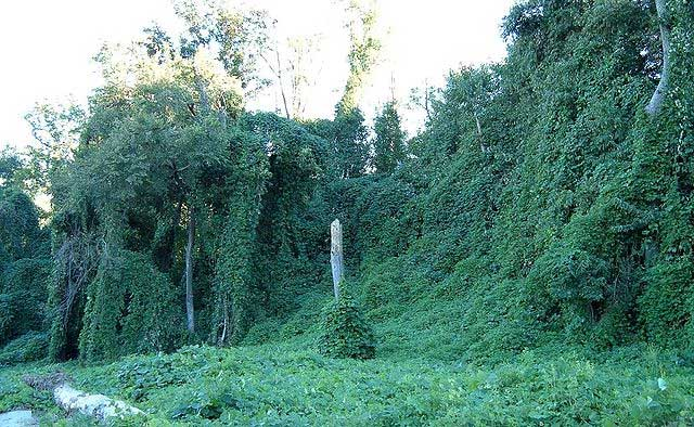Trees covered in Kudzu.