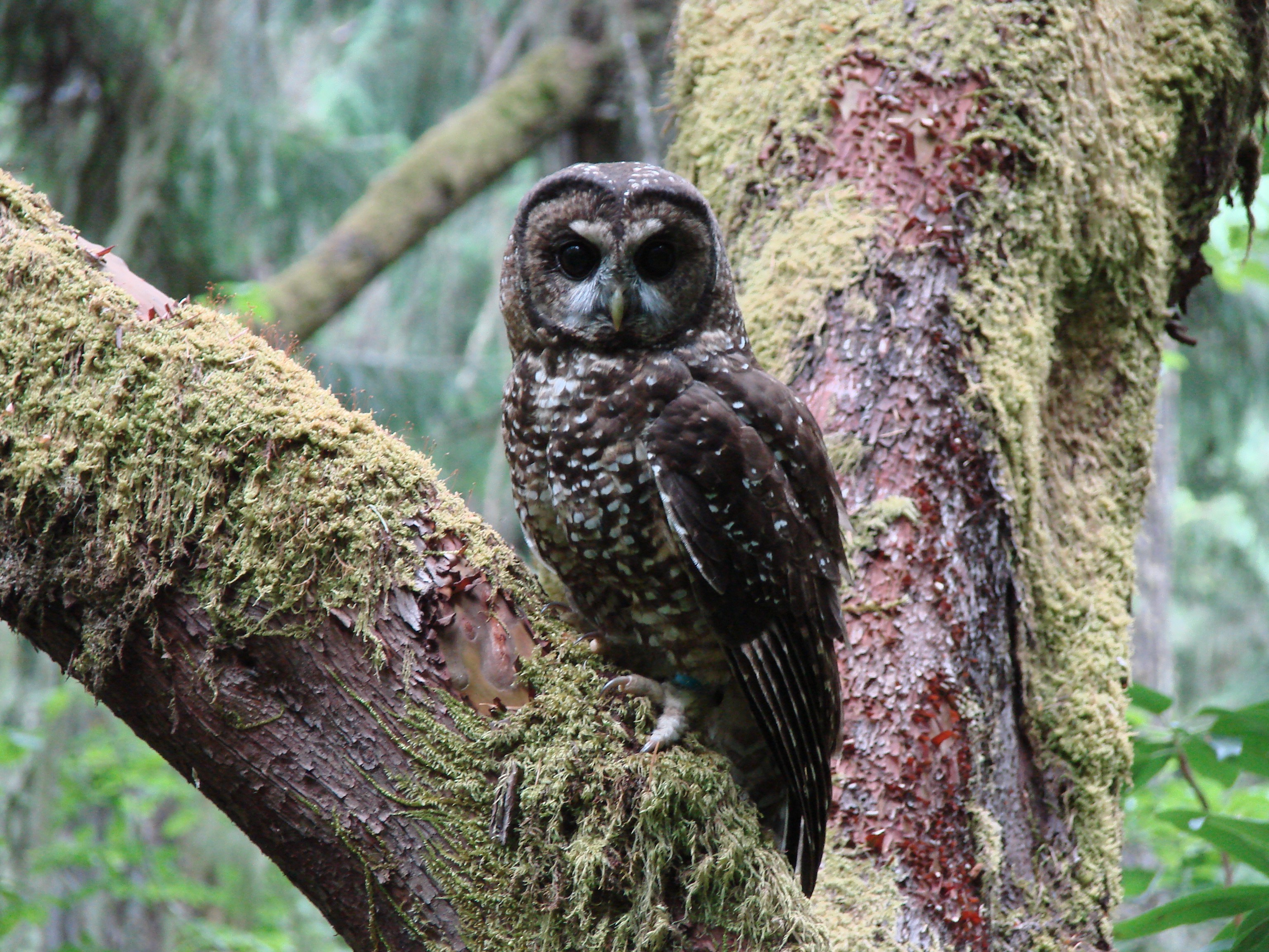 A northern spotted owl peers down from an old-growth forest in the Pacific Northwest.