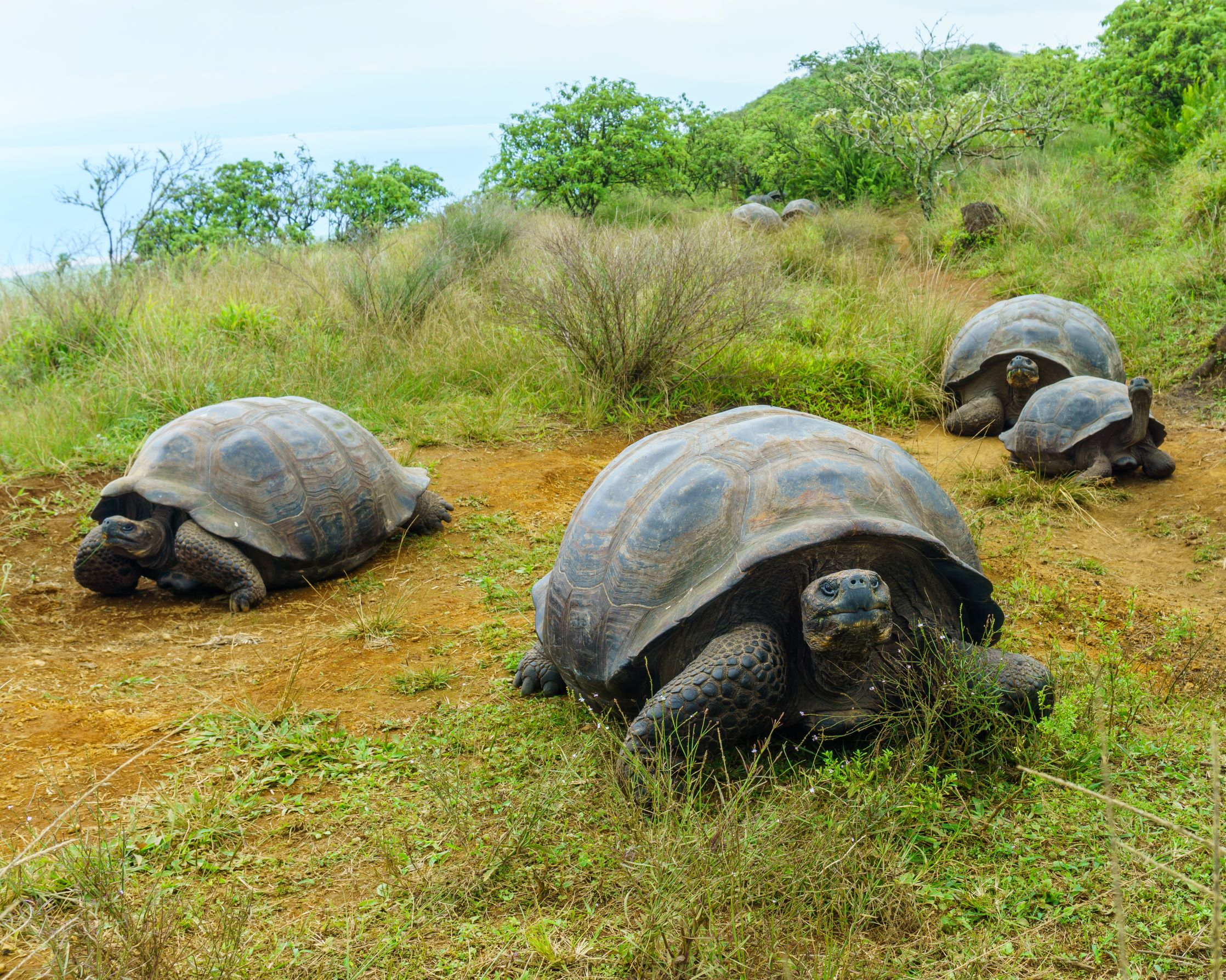 Test2 02644 smaller - Giant Tortoises Migrate Unpredictably in the Face of Climate Change