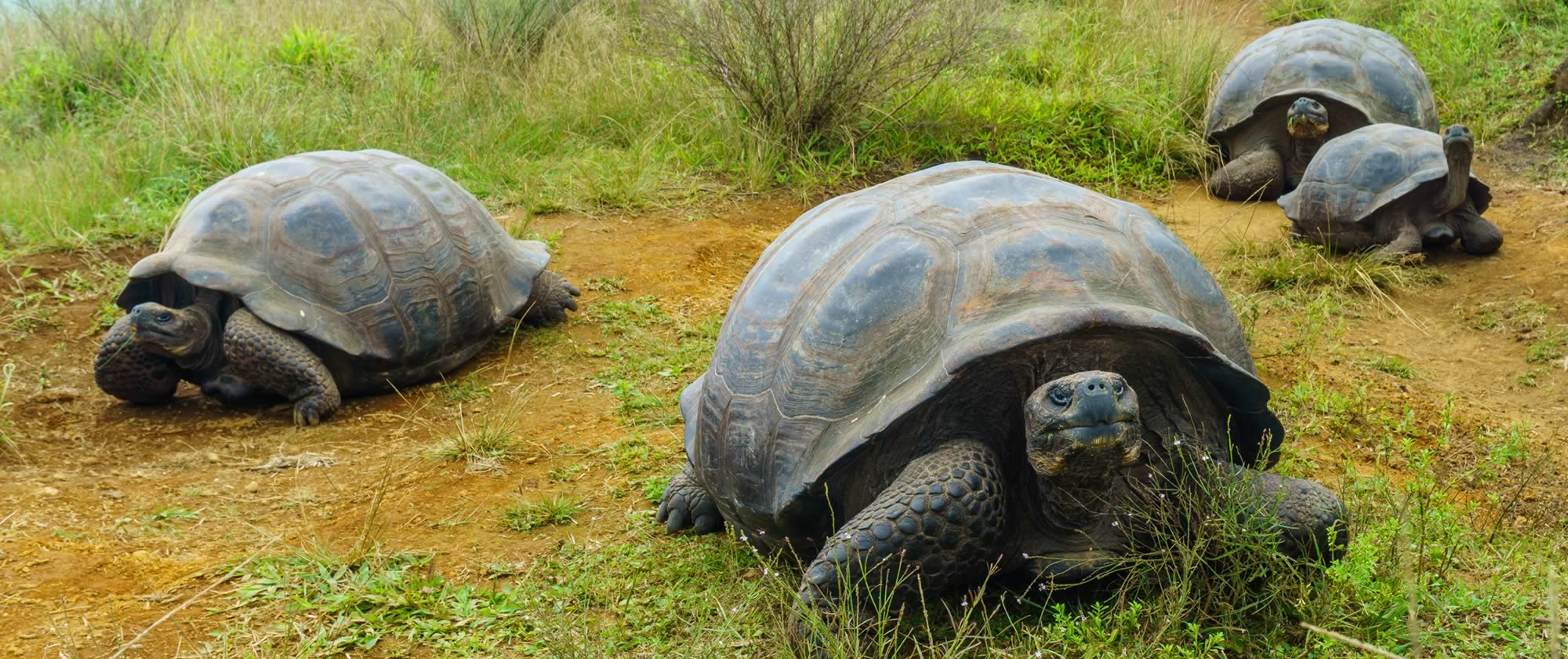 Four gian tortises walk toward the camera with a second group following beind in the background.