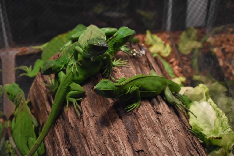 Adam Toomes Repticon 2018 West Palm Beach 768x512 - Exotic Pets Can Become Pests with Risk of Invasion