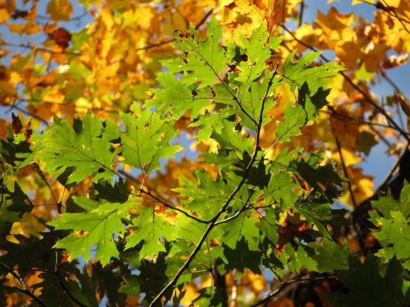 Northern Red Oak Leaves   Flickr   treegrow2 - Picky pathogens help non-native tree species invade