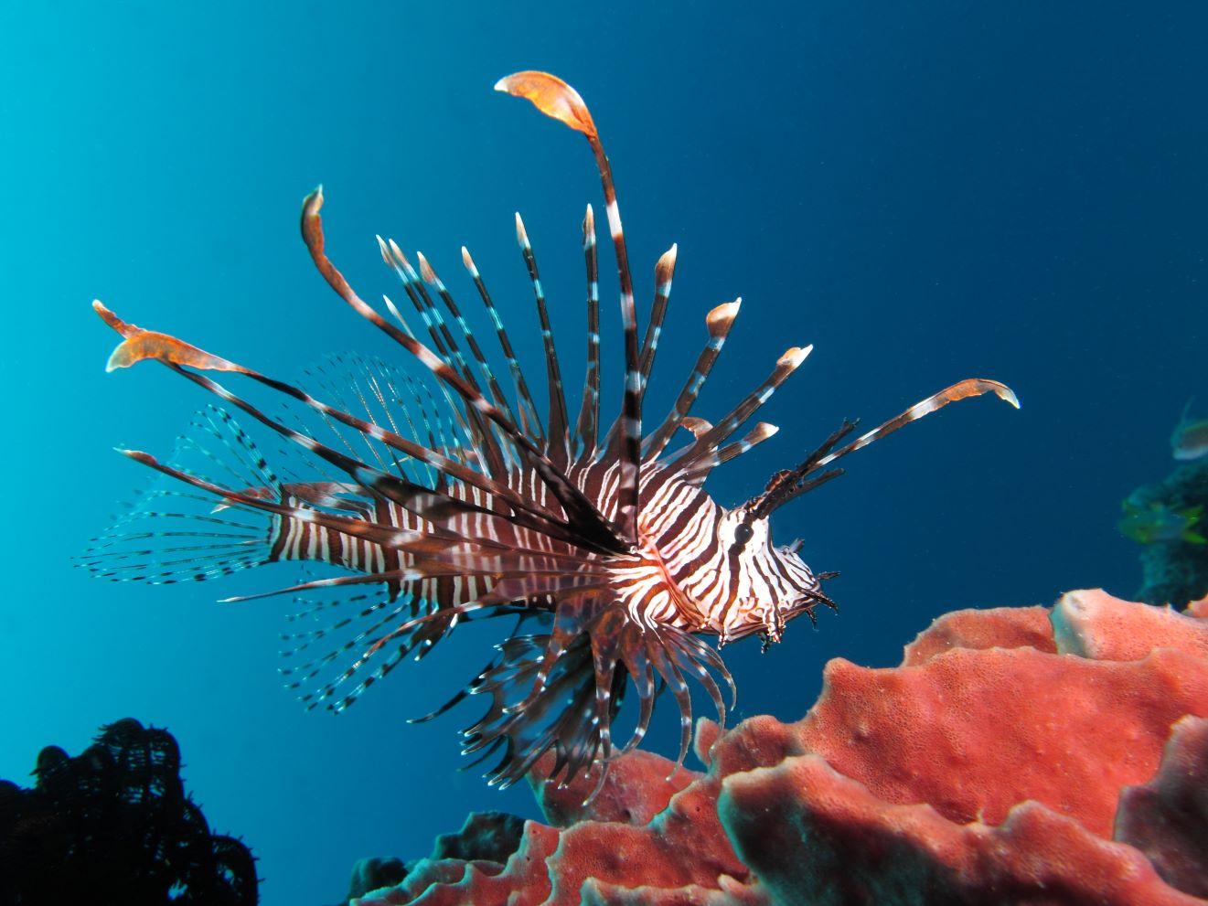 Red lionfish near Gilli Banta Island1 - Lionfish ear-bones reveal a more mobile invasion