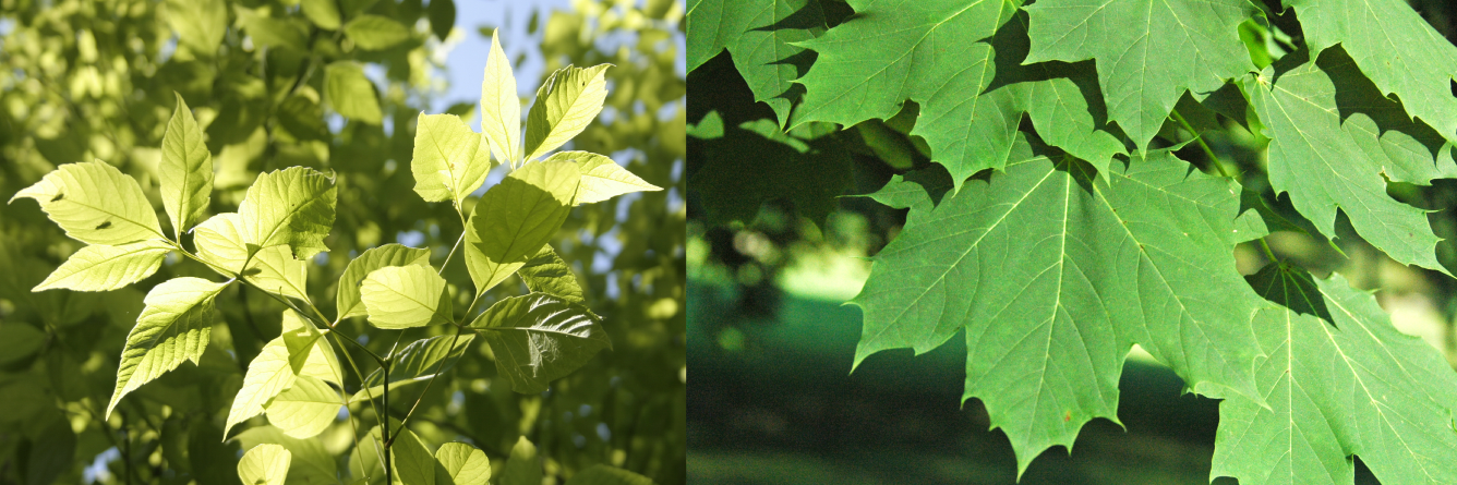 boxelder vs norway maple2 - Picky pathogens help non-native tree species invade