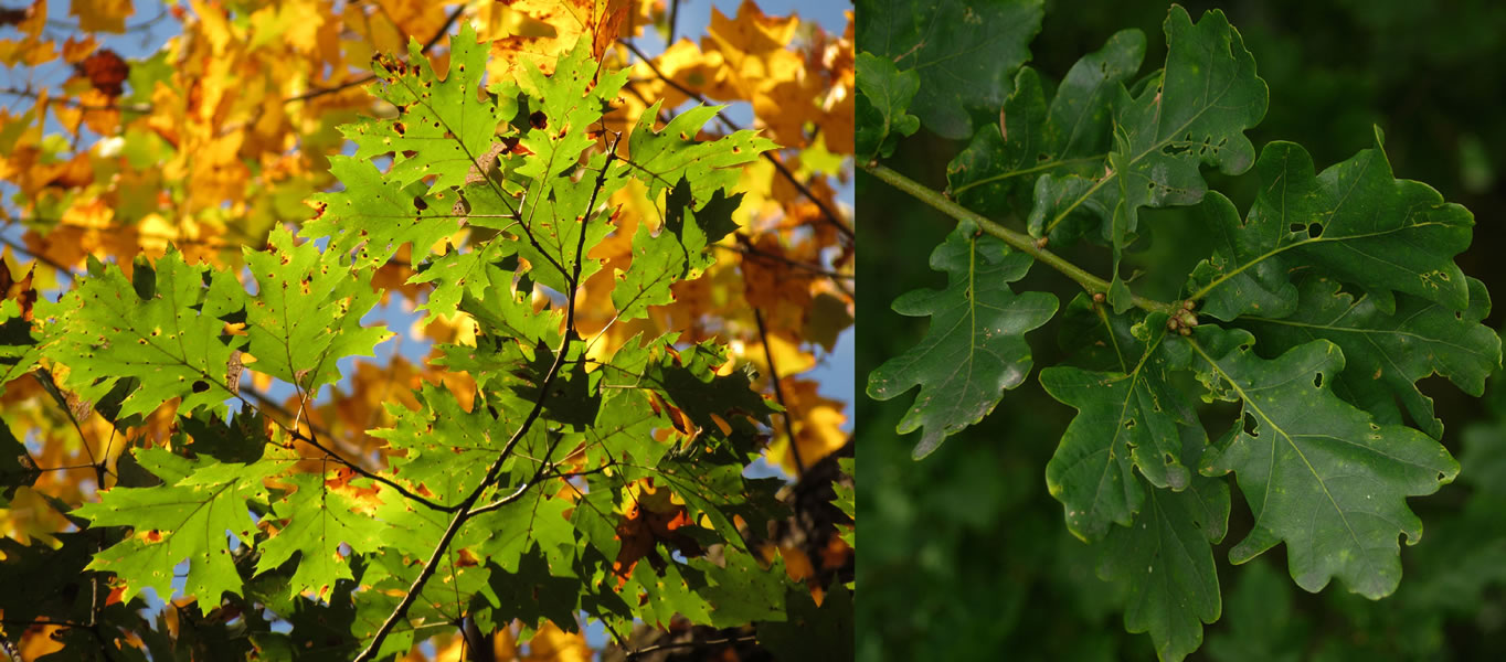 northern red vs pendunculate - Picky pathogens help non-native tree species invade