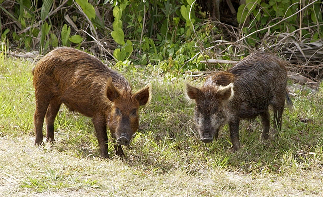 Wild Pig KSC02pd0873 - Tracking wild pigs in real time and understanding their interaction with agro-ecosystems